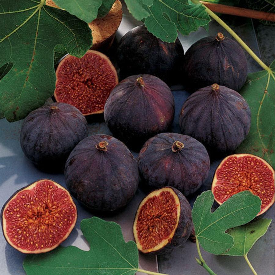Petite negra fig tree, venezuela porn karla spice photos