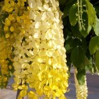 Golden Shower Blossoms