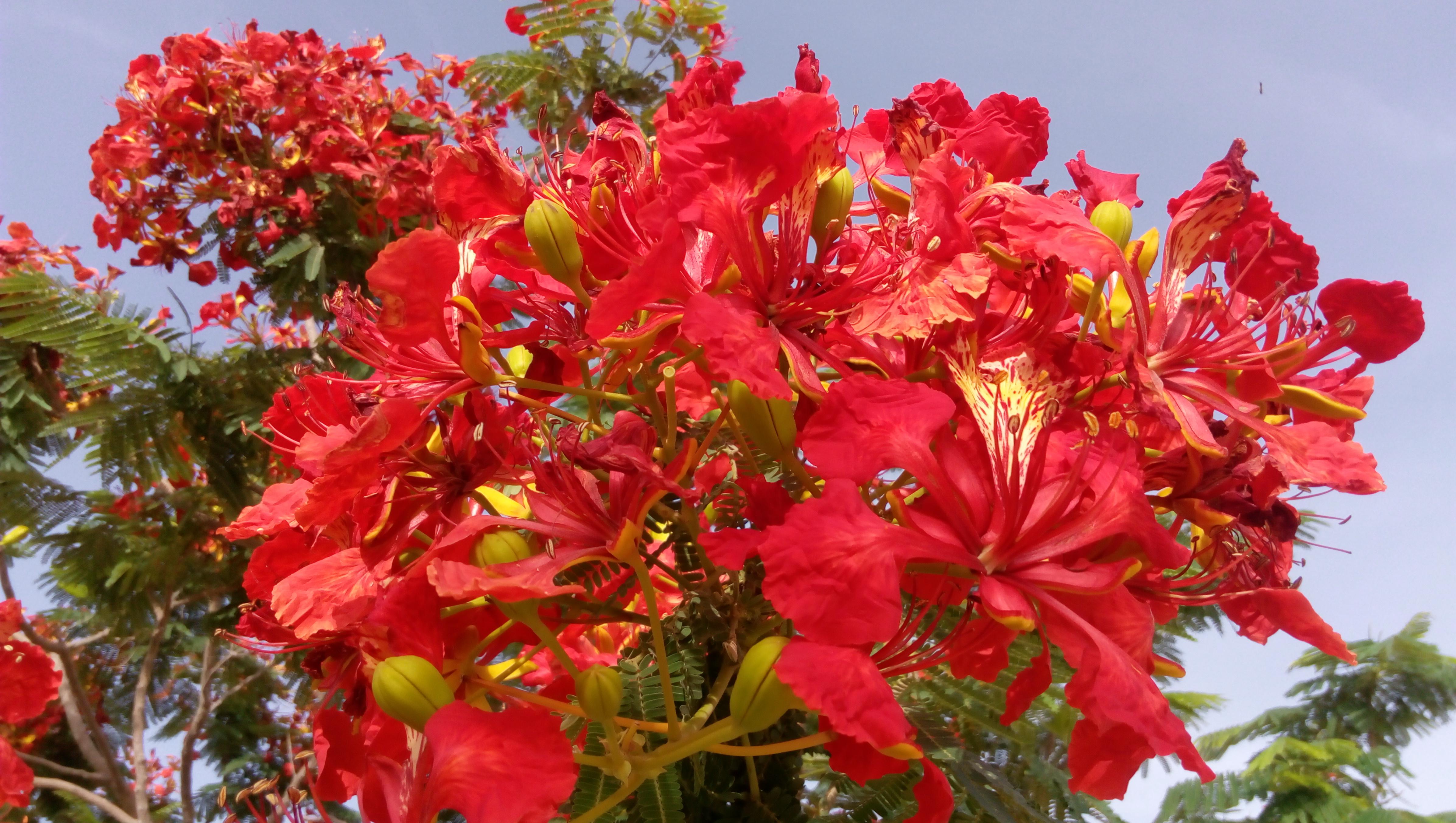 Bunga Flamboyan Pesona Di Ibukota Doha Jelajahqatar Com