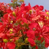 Bunga Flamboyan, Pesona di Ibukota Doha