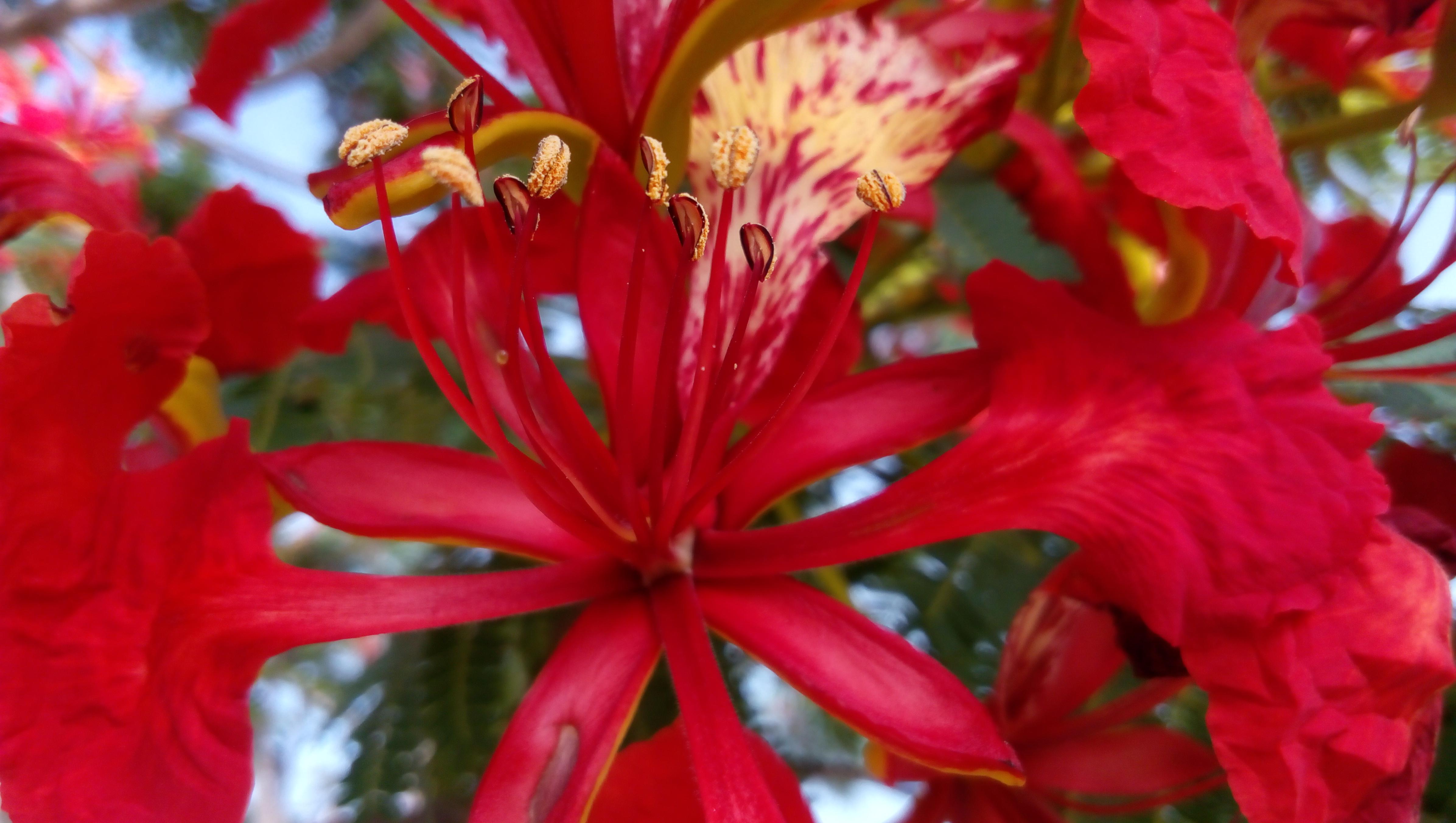 78+ Gambar Bunga Flamboyan Terbaik